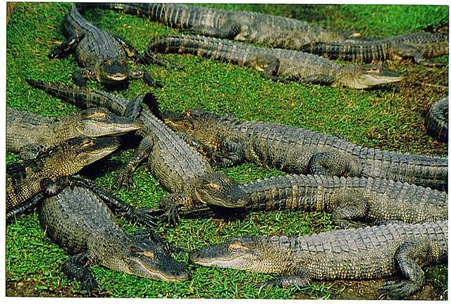 Alligators South Carolina Map