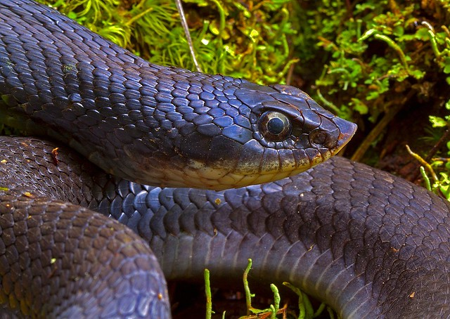 Eastern Hognose Snake | This is the black color phase of ...