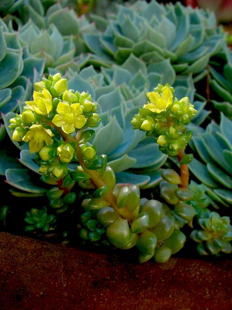 Low Growing Succulents