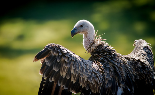 vulture eye tell tale heart