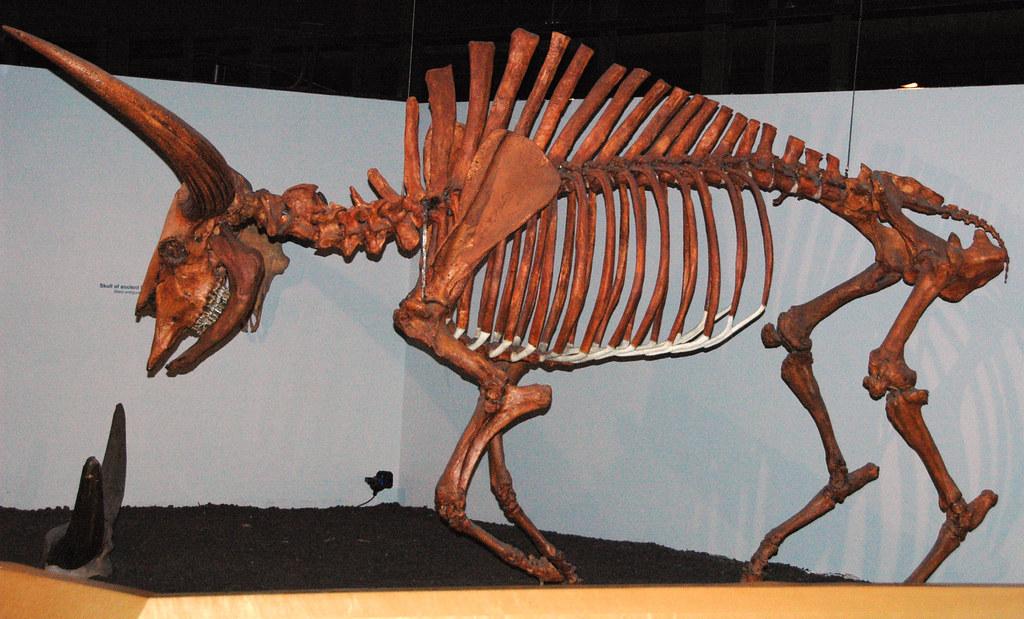 Bison Latifrons Fossil Buffalo Pleistocene North America