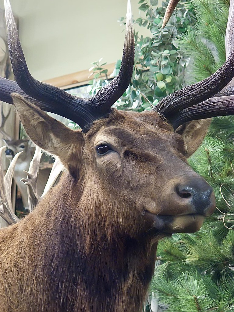 Portrait Of A World Record Roosevelt Elk From Benton Count Flickr