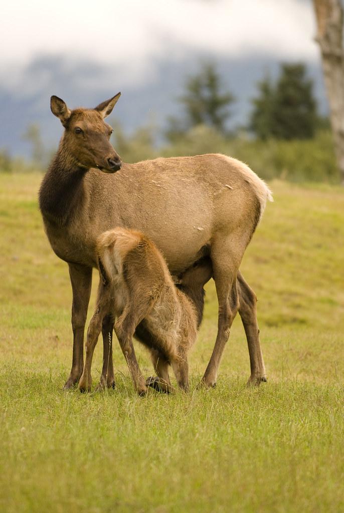 Baby Amp Mother Elk In Girdwood Alaska A Mother Elk With
