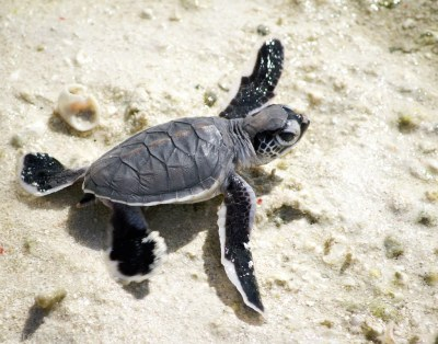 Baby Sea Turtle   Just after hatching on Heron Island on ...