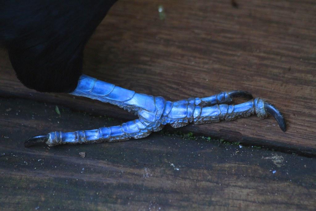 Keel Billed Toucan Blue Feet