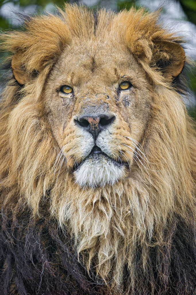 A Nice Lion Portrait Portrait Of One Of The African Lion