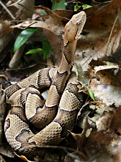 Viperidae : Agkistrodon contortrix - Northern Copperhead ...