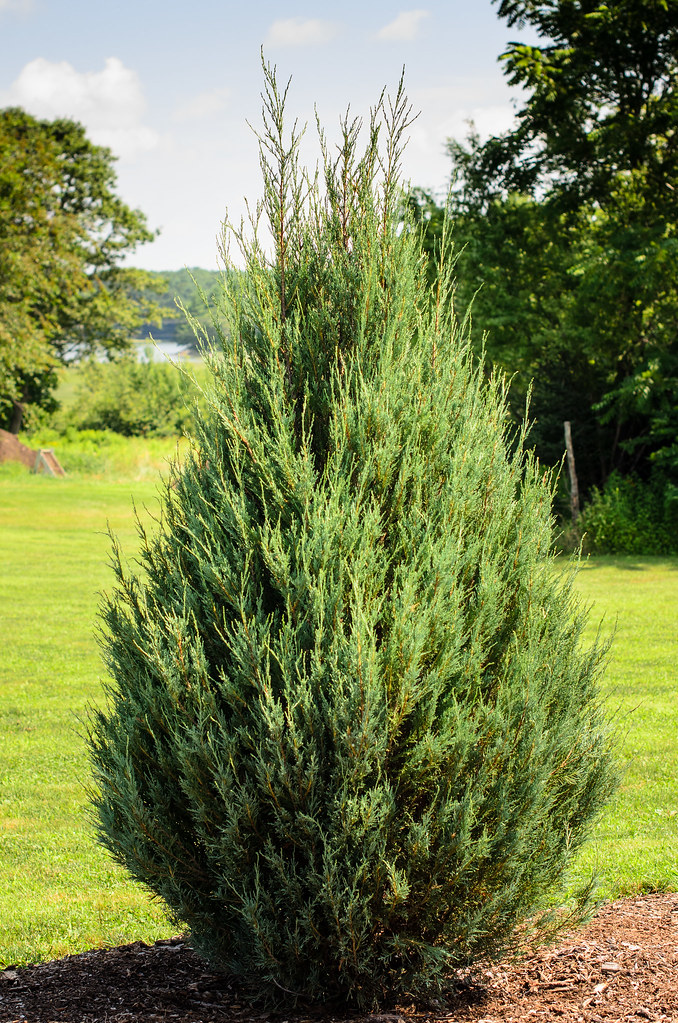 Eastern Redcedar Juniperus Virginia Or Quot Skyrocket