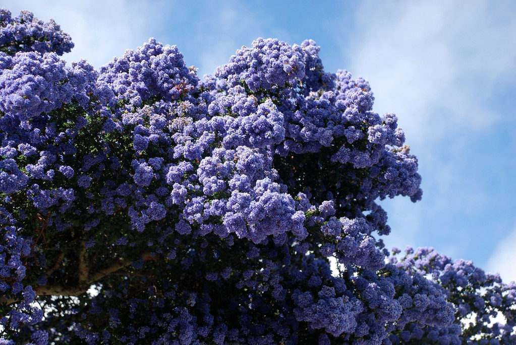 Ceanothus Species California Lilacs Flickr Photo Sharing