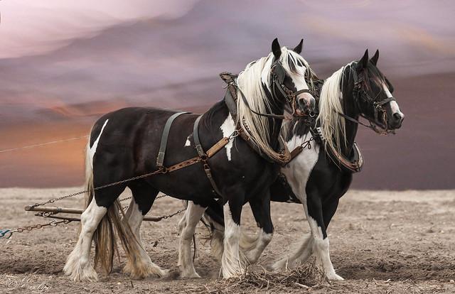 Belgian Radar Horse Draft