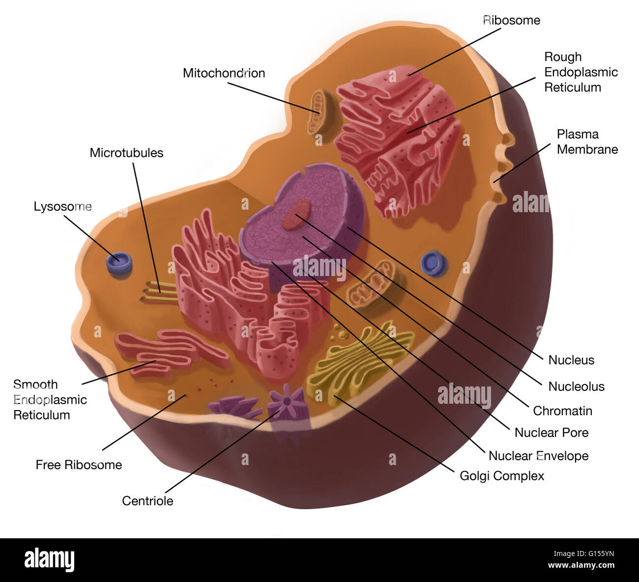 Illustration of animal cell  The cell has a nucleus in its center     Illustration of animal cell  The cell has a nucleus in its center  that  contains chromatin constituted of DNA  and nucleole  composed of RNA and  proteins
