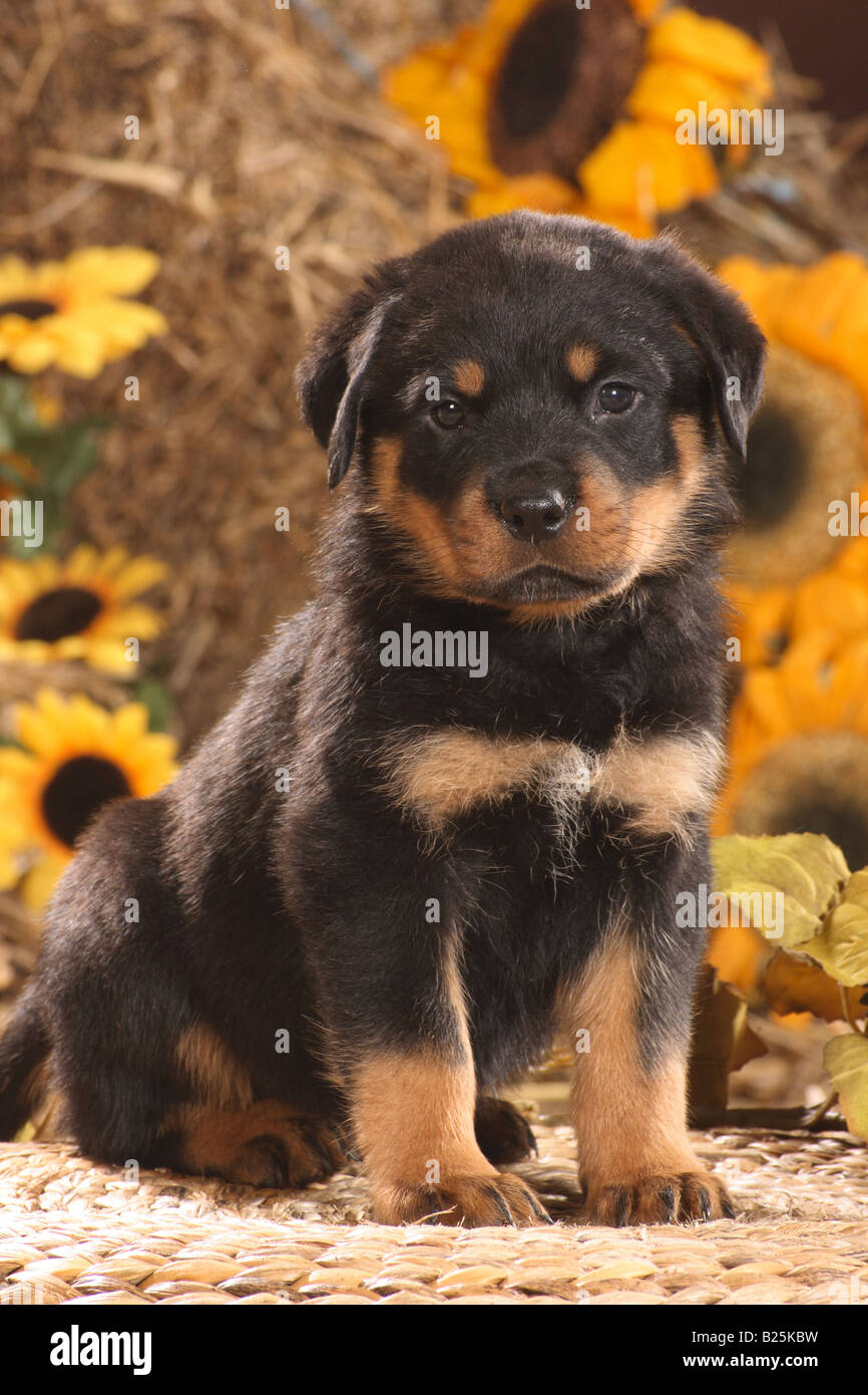 Rottweiler Puppy Stock Photos Amp Rottweiler Puppy Stock