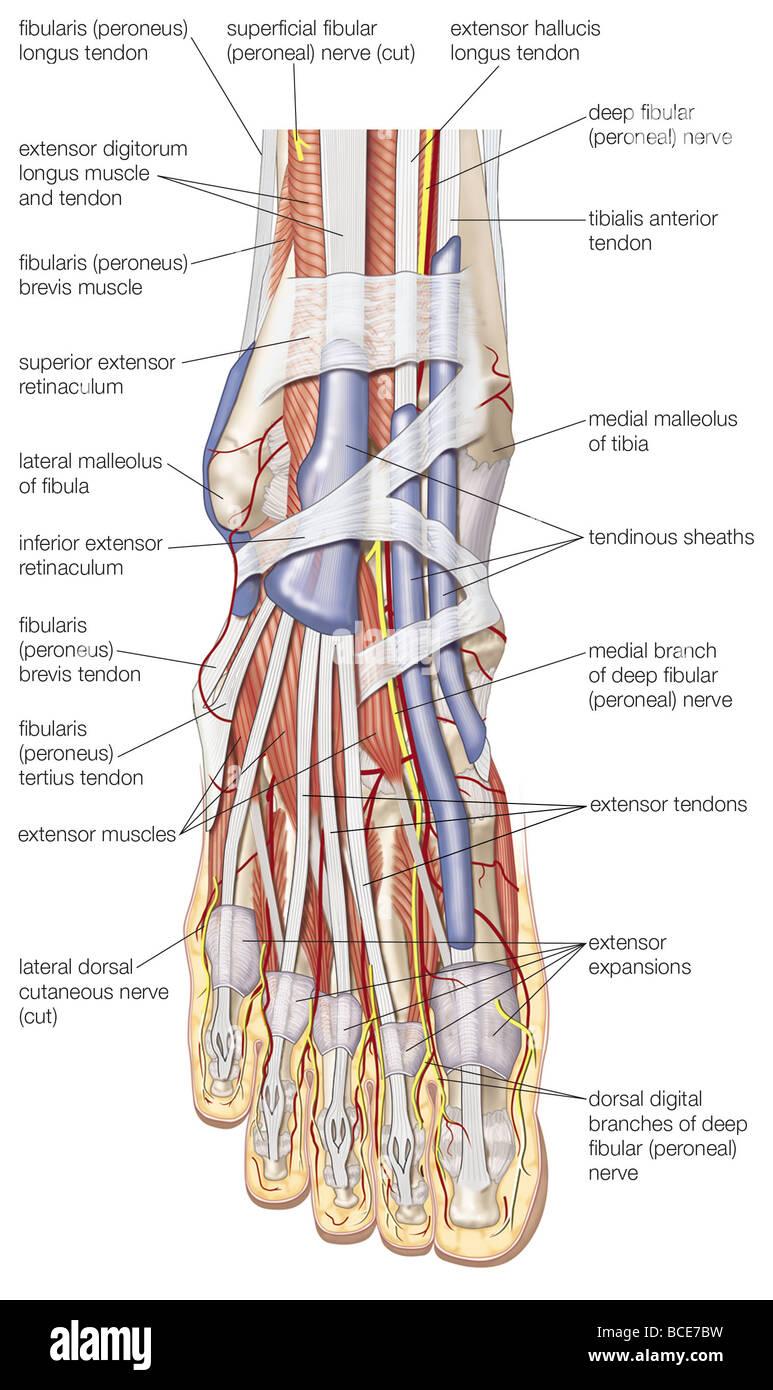 Medial Ankle Anatomy Nerves
