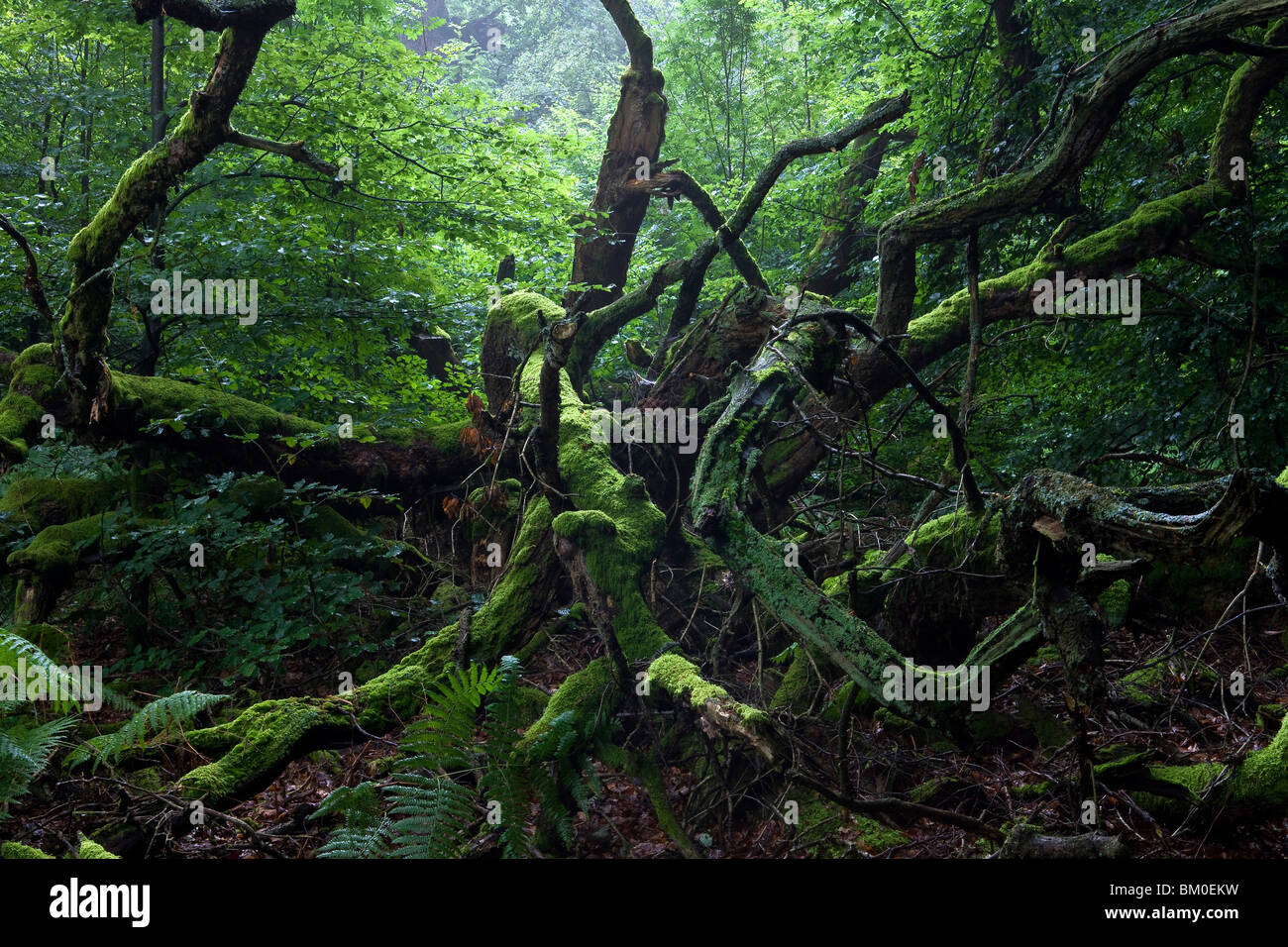 Ancient Forests Europe