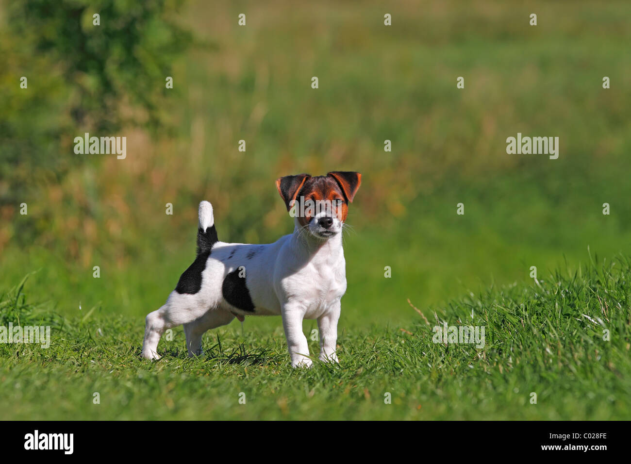 Meadow Pond Farm Jack Russell Terriers