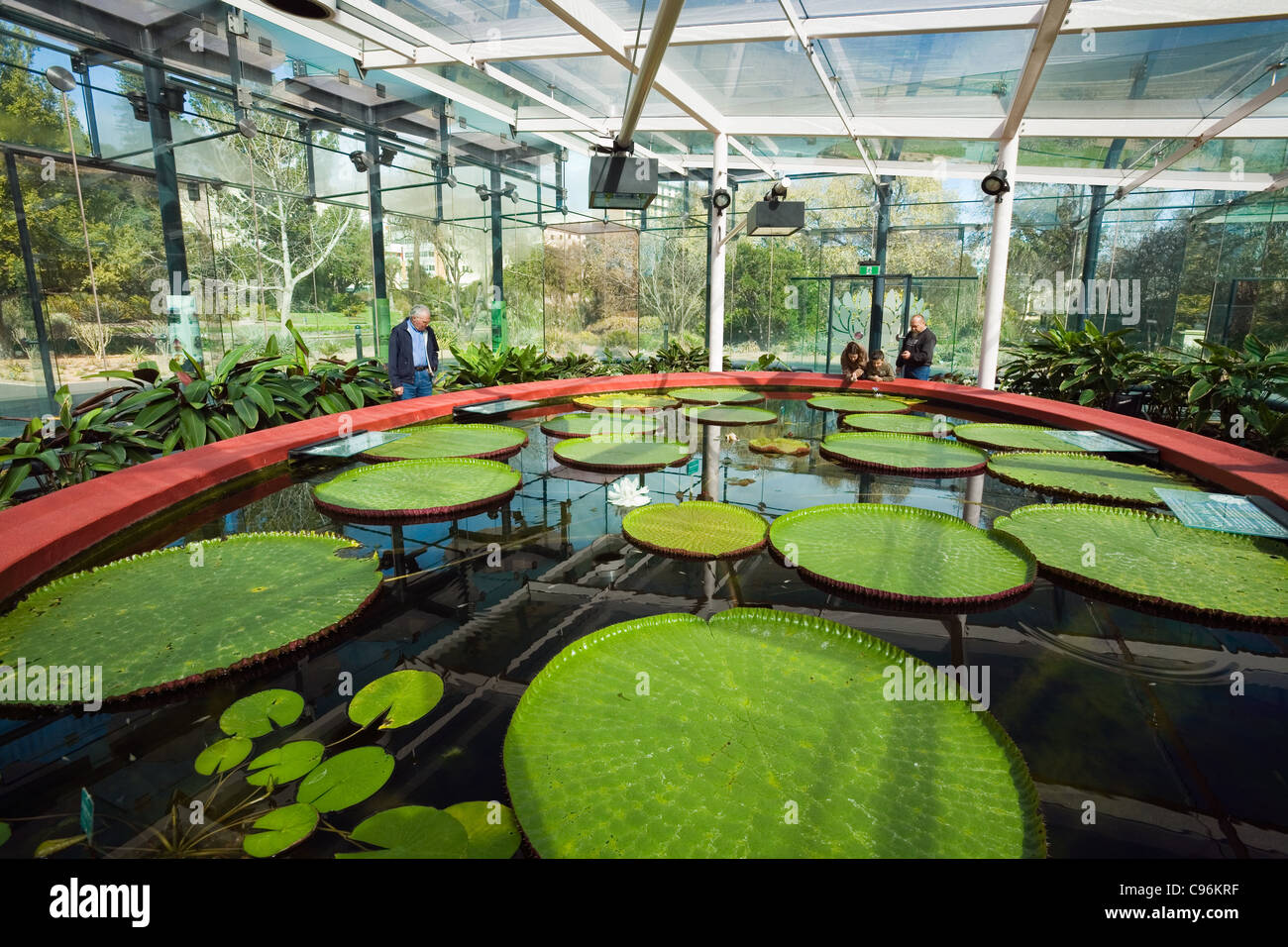 Where Buy Pond Lilies