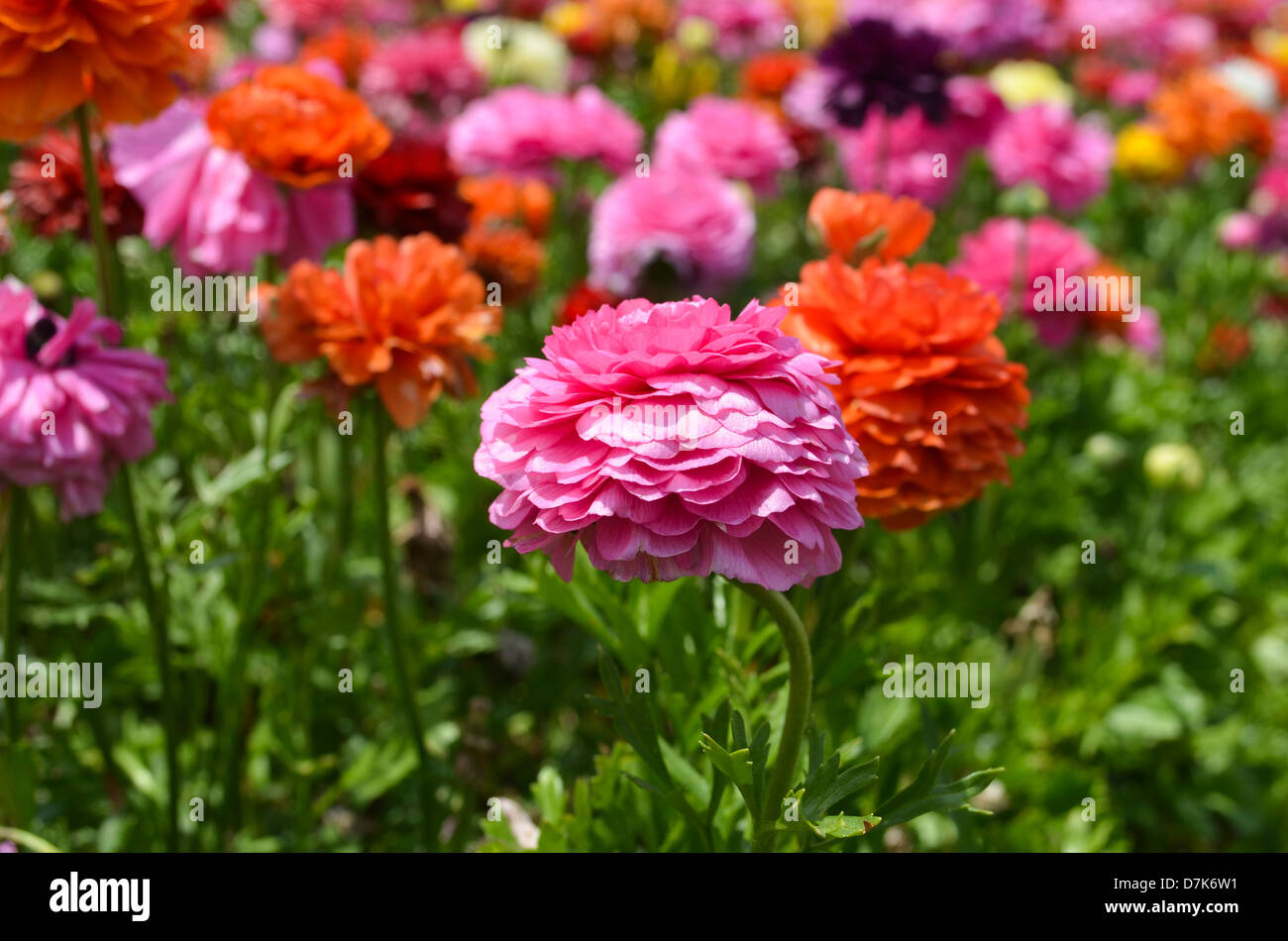 A field of cultivated Buttercup  Ranunculus  flowers Stock Photo     A field of cultivated Buttercup  Ranunculus  flowers