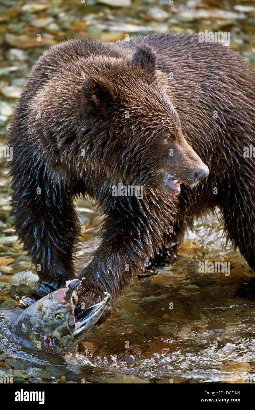 Bear Eating Man Giant ...