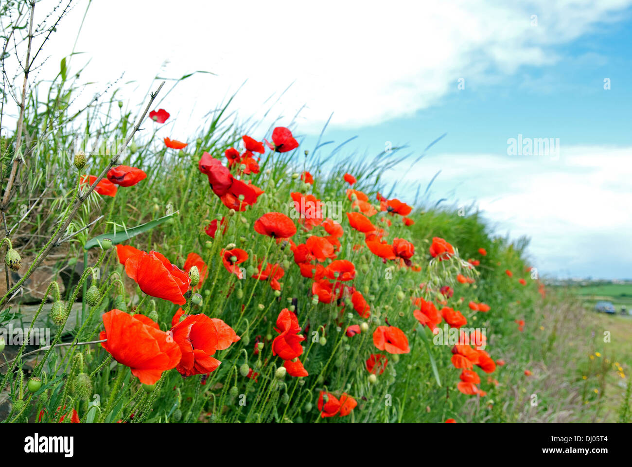 Roadside Wild Flowers Poppy Stock Photos   Roadside Wild Flowers     poppies growing by the roadside   Stock Image