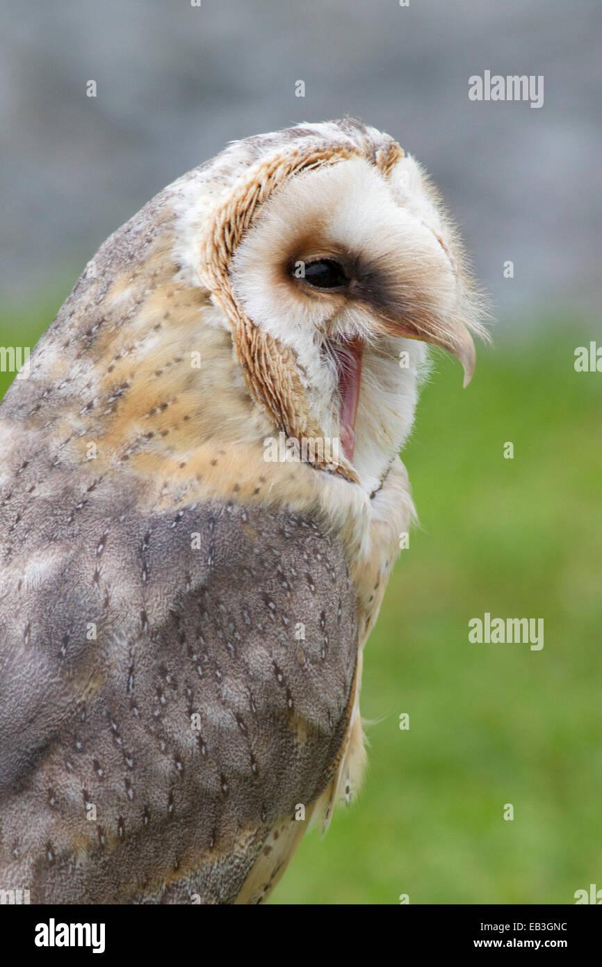 Barn Owl calling closeup (Tyto alba) Ireland Stock Photo ...
