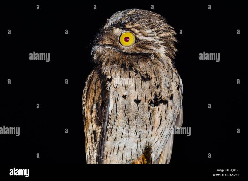 Potoo Bird Stock Photos   Potoo Bird Stock Images   Alamy A Northern Potoo  Nyctibius jamaicensis  at night  Belize  Central America