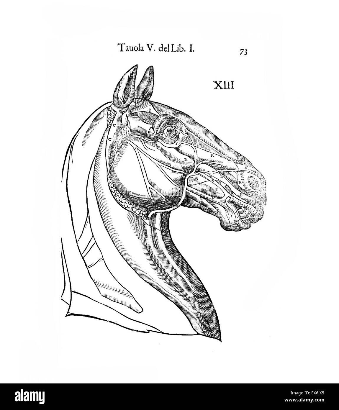 Horse Anatomy Illustration Stock Photos Amp Horse Anatomy