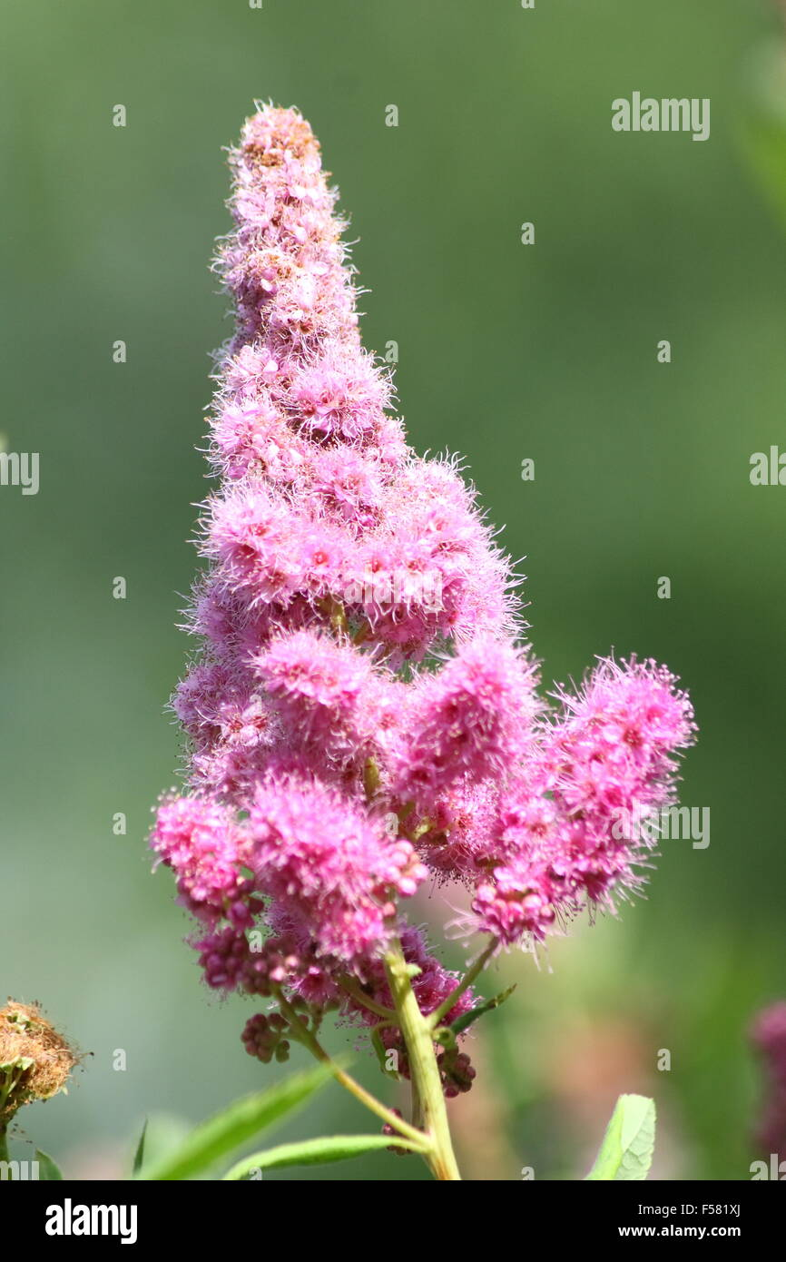 Cone Shaped Flowers Of A Pink Flowering Shrub Stock Photo
