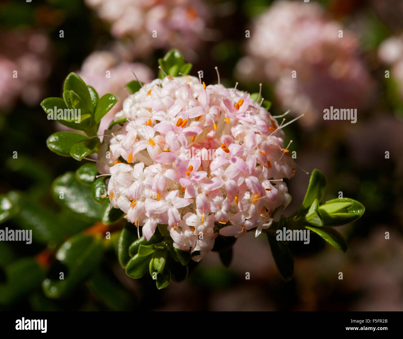 Pink Flowers Australian Native Stock Photos   Pink Flowers     Cluster of small pale pink flowers of Australian native shrub Pimelea  ferruginea surrounded by dark green