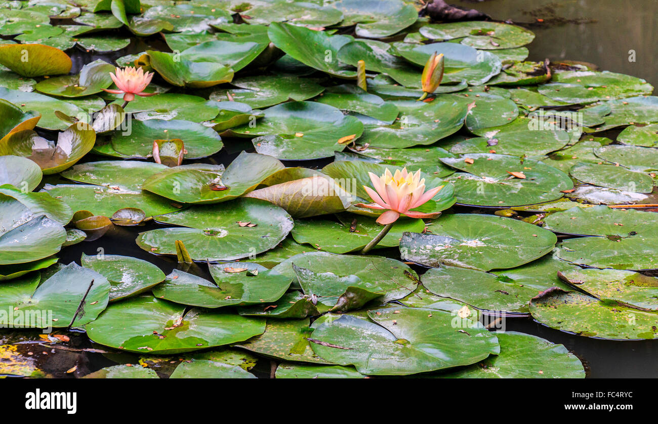 Lotus Flower Hindu Stock Photos   Lotus Flower Hindu Stock Images     Blooming lotus flowers  The lotus flower is associated with purity and  beauty in the religions