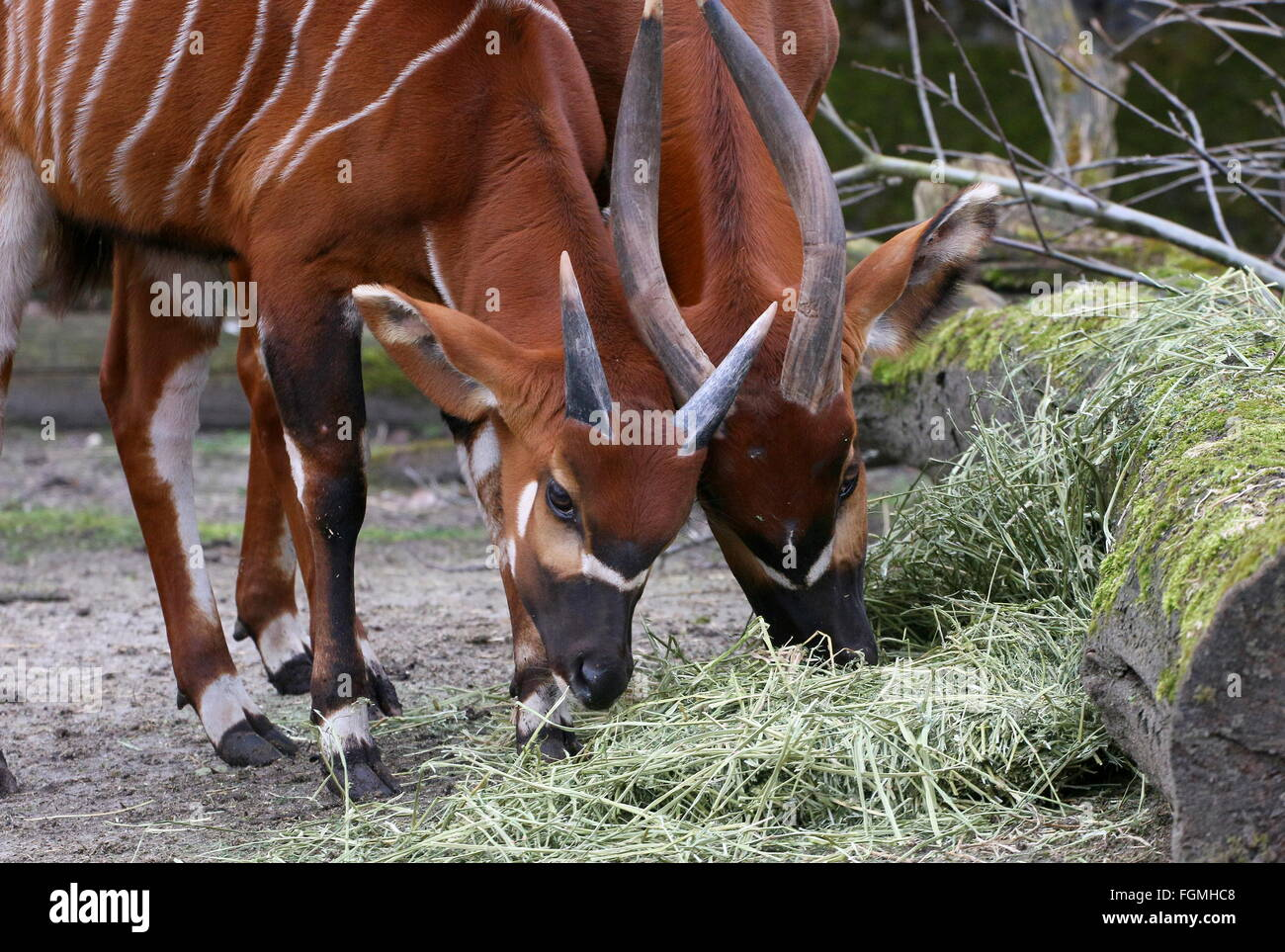 Feeding male and female East African Bongo antelope ...