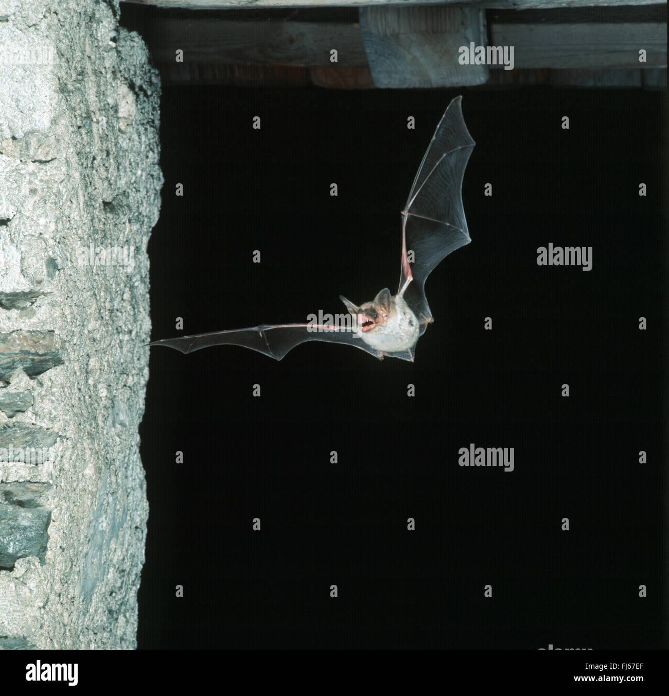 California Myotis Flight