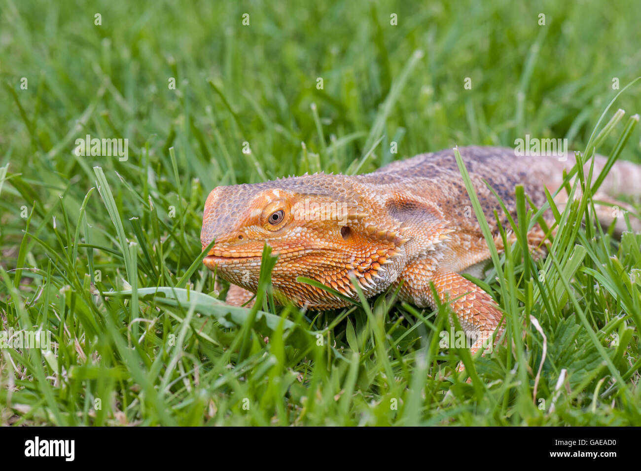 bearded dragon running free in grass Stock Photo, Royalty ...