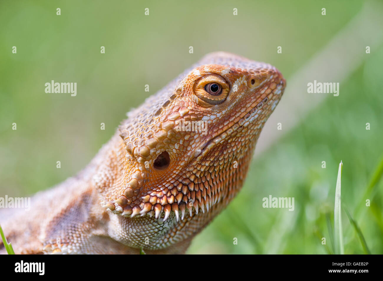 bearded dragon running free in grass Stock Photo ...