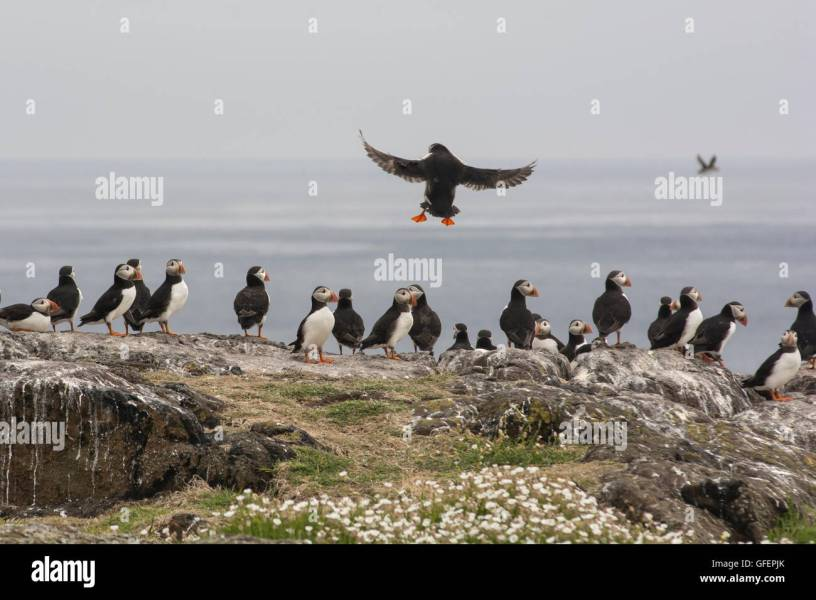 Isle Of May Birds Stock Photos   Isle Of May Birds Stock Images   Alamy Puffins on the Isle of May  Scotland  during the breeding season   Stock  Image