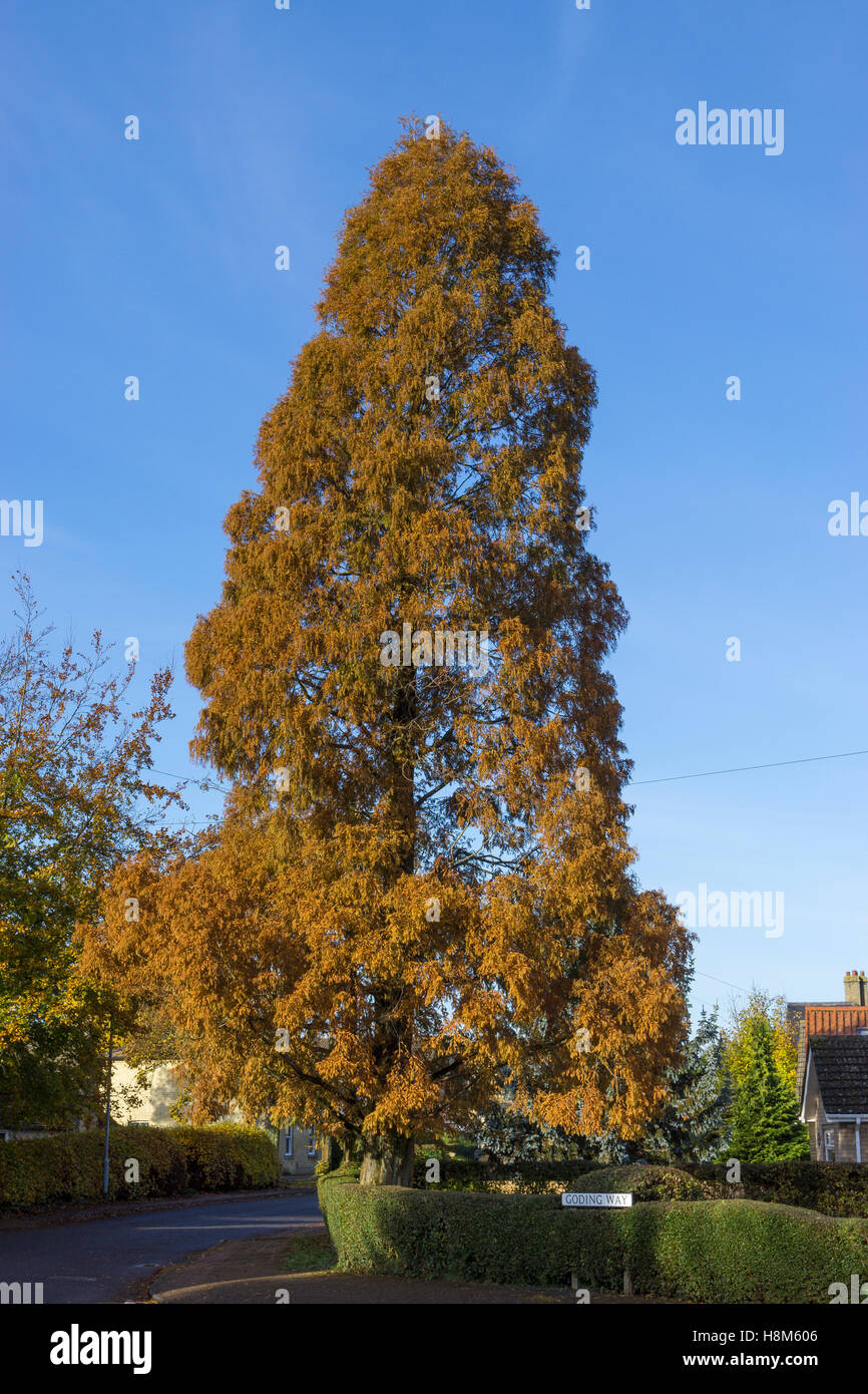 Louisiana Cypress Tree Autumn