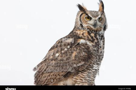 North American Great Horned Owl Full Hd Maps Locations Another