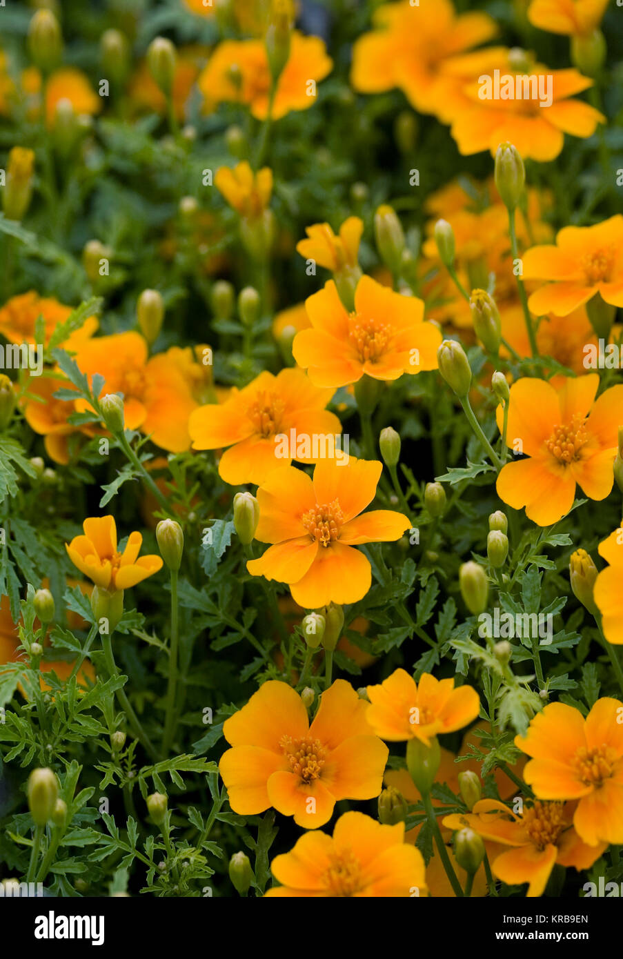 French Marigolds Stock Photos   French Marigolds Stock Images   Alamy Tagetes patula flowers  French marigolds in the garden    Stock Image