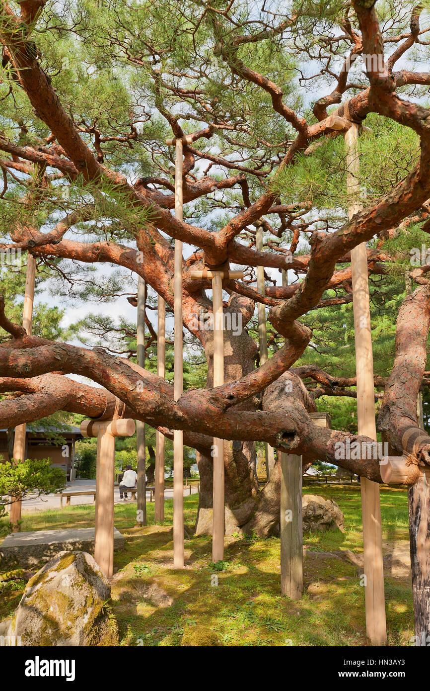 Alten Pinie mit Holzbalken im Kenrokuen Garten Kanazawa, Japan zu