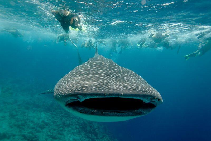 Swim with the Whale Sharks in La Paz, Tours from Cabo San Lucas, Mexico, cabo adventures