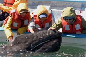 curious Gray Whale being pet touched Baja California Sur, whale watching tours