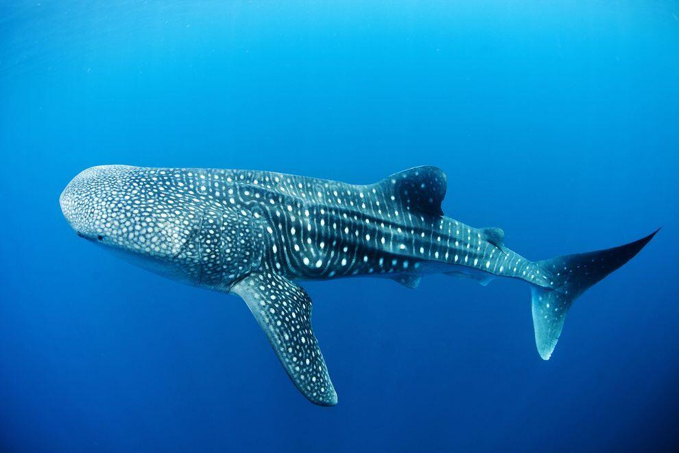 Swim with the Whale Sharks in La Paz, Tours from Cabo San Lucas, Mexico best cabo activities