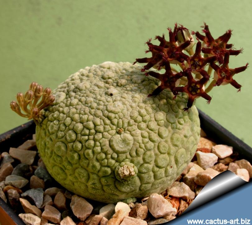 Unusual Succulents Sale