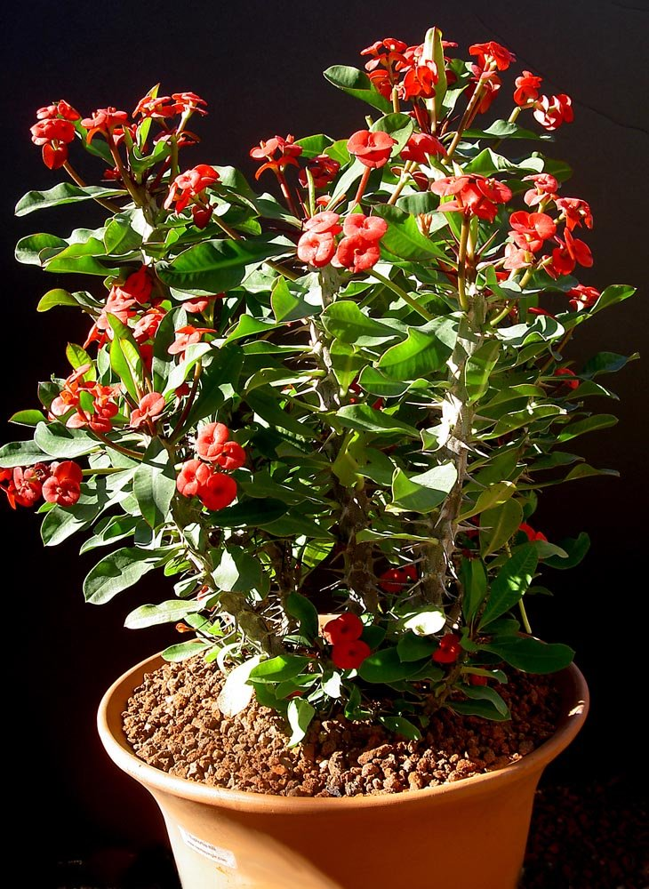 Euphorbia Milii Cactus Jungle