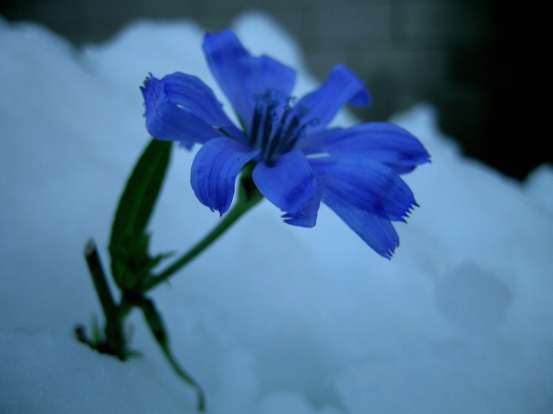 flower in snow   Executive Resume Writing Service flower in snow