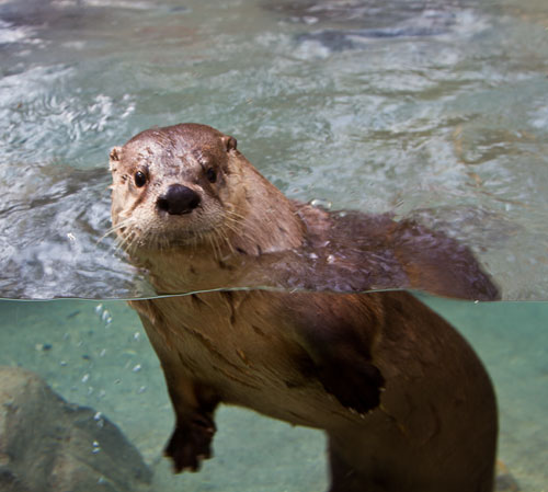 From Our Readers Underwater Otter At The Western North