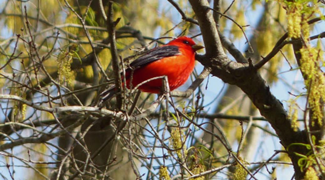 Image of: Tanager Female Scarlet Tanager Carroll County Bird Club Scarlet Tanager Carroll County Bird Club