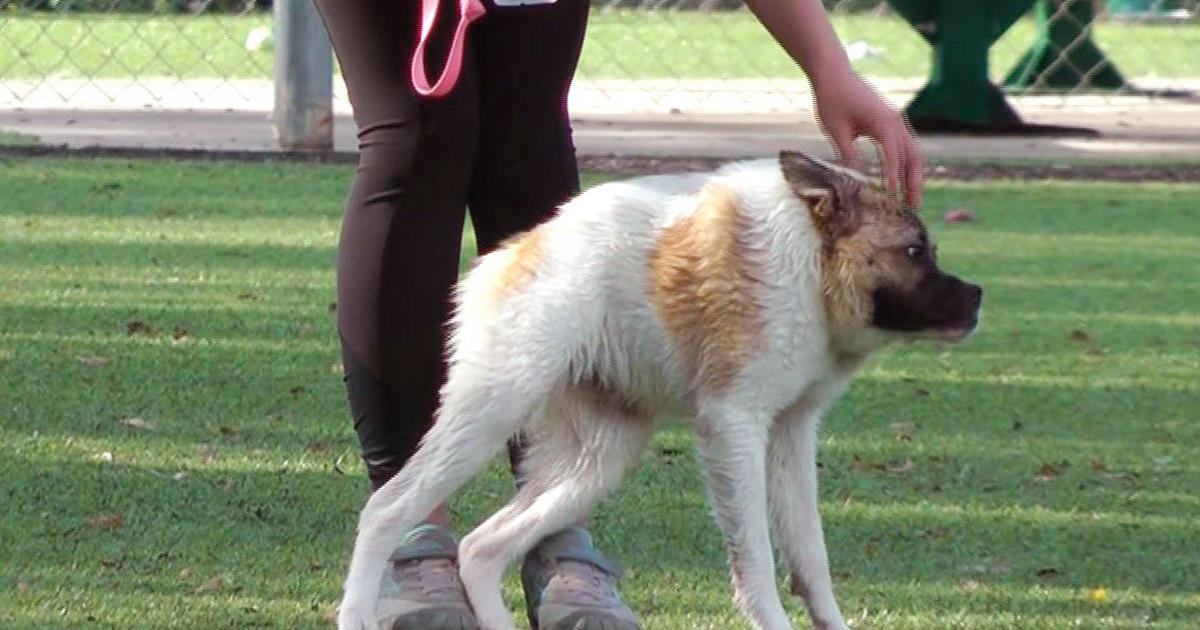 Dog Named Pig Hops Like A Frog Walks Like Gorilla Cbs News