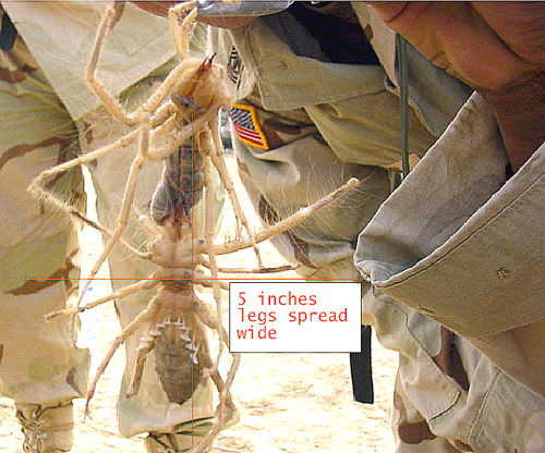 Brown Recluse Spider Range