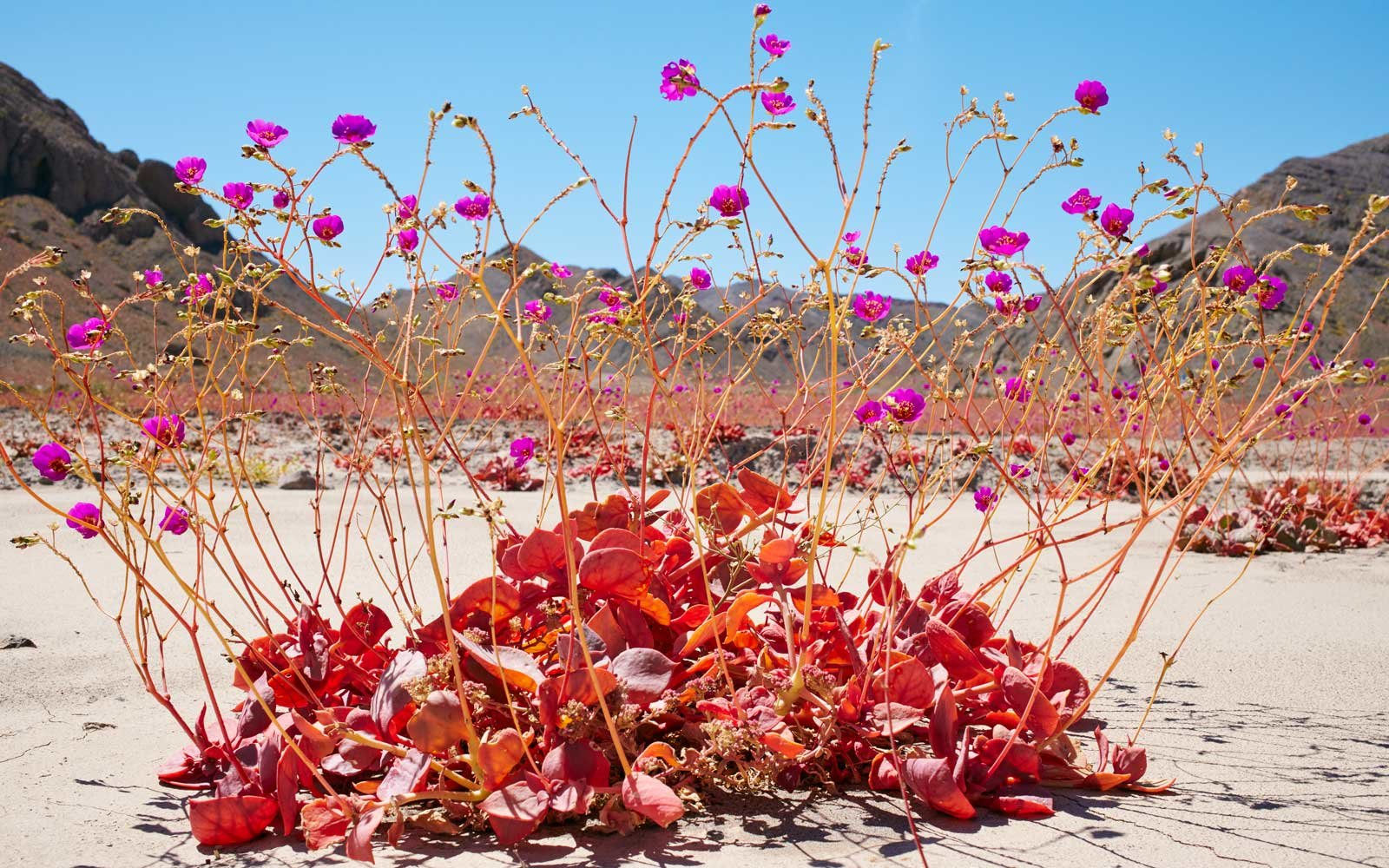 Chile s Atacama Desert is Once Again Covered in Wildflower Blooms     Rare Blooming of Desert Flowers in Chile