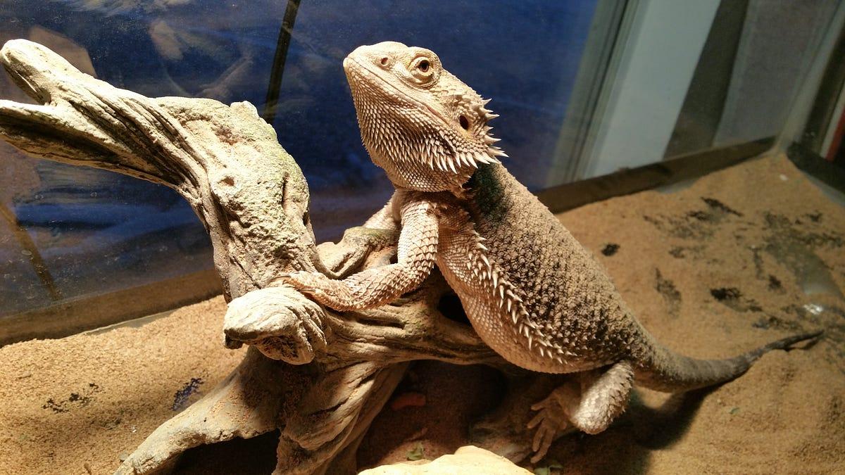 How Long Do Bearded Dragons Live   Bearded Dragon Lifespan